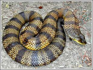 Image result for tiger snake